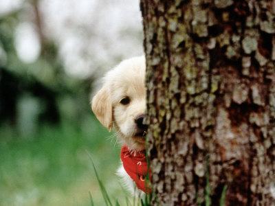 Frank-siteman-6-week-old-golden-retriever-puppy-hiding-behind-tree