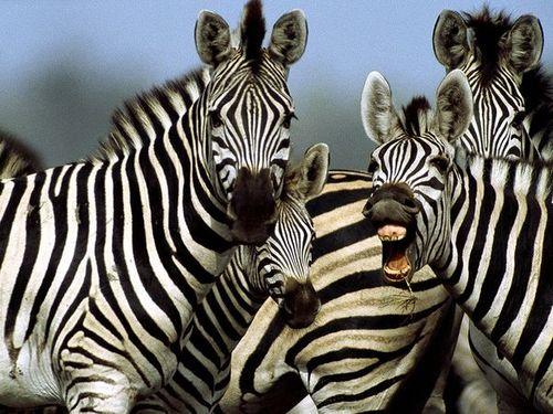 Zebra_764_600x450