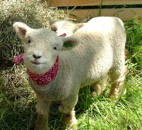 Baby_sheep-17114