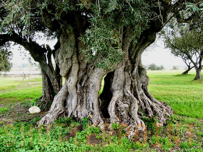 170225-Ancient-Olive-Tree_view